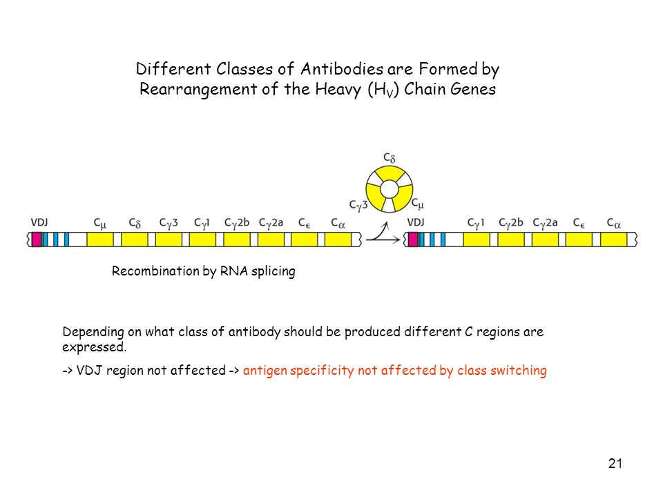 Different Classes of Antibodies are Formed by Rearrangement of the Heavy (HV) Chain Genes