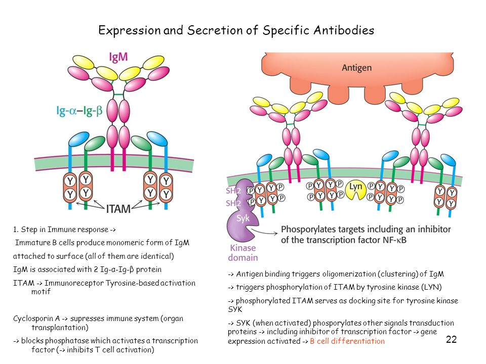 Expression and Secretion of Specific Antibodies