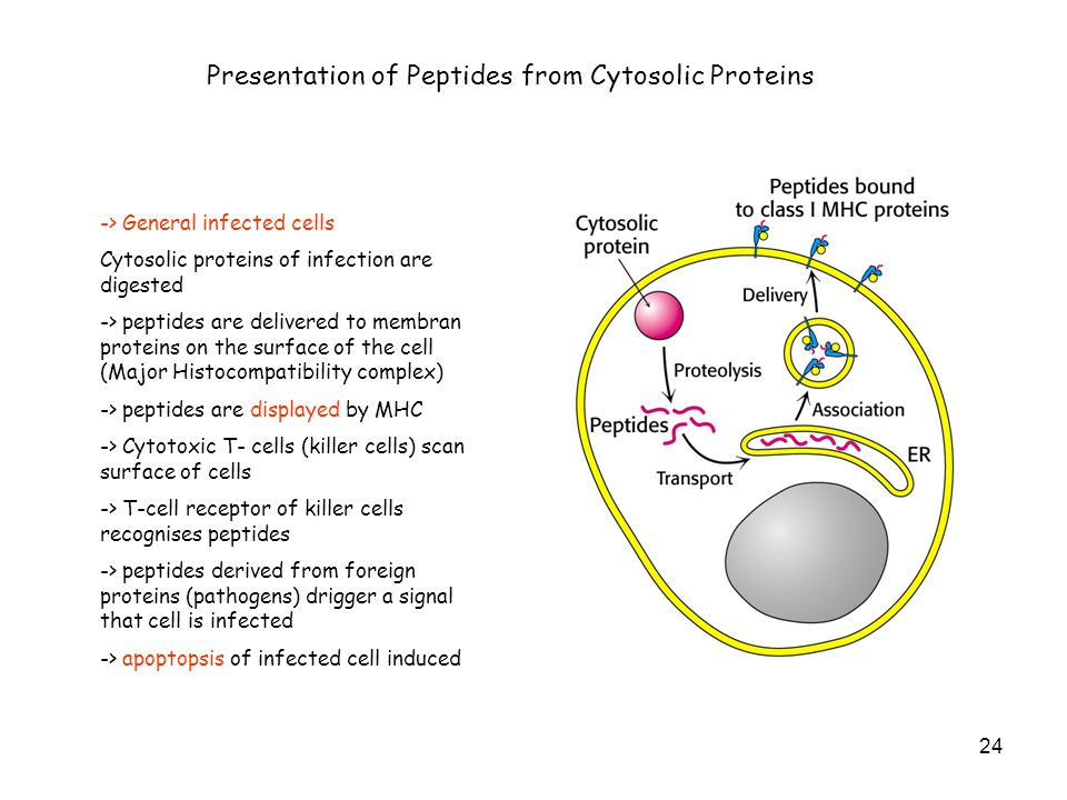 Presentation of Peptides from Cytosolic Proteins