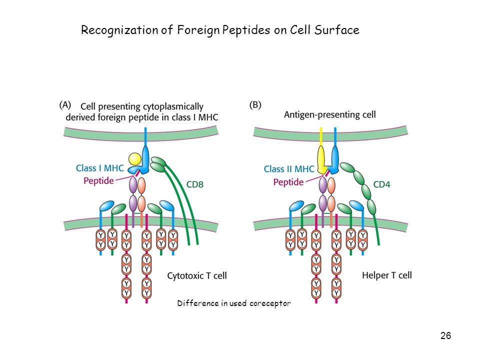 Recognization of Foreign Peptides on Cell Surface