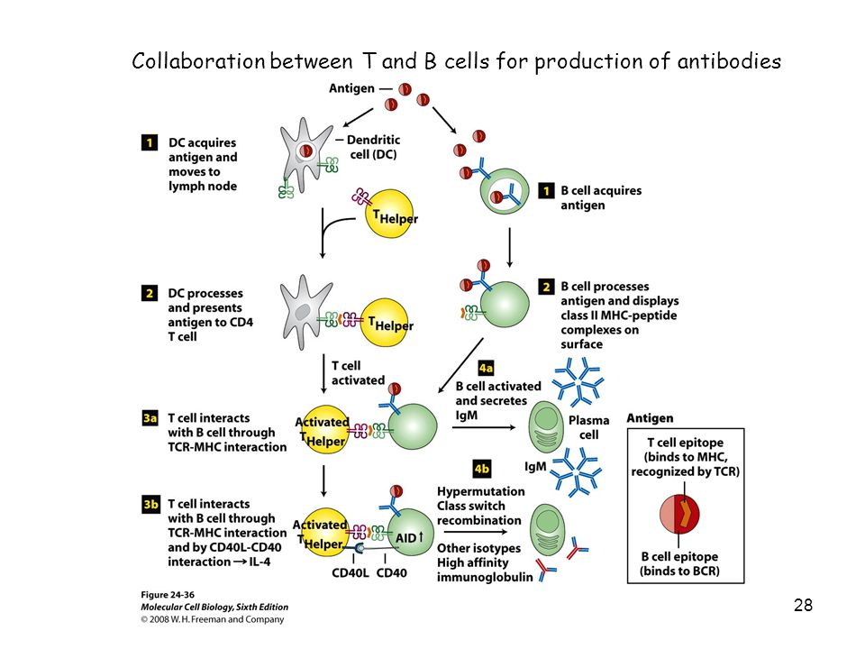 Collaboration between T and B cells for production of antibodies