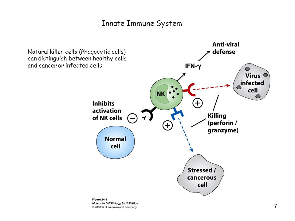 Innate Immune System Natural killer cells (Phagocytic cells) can distinguish between healthy cells and cancer or infected cells.