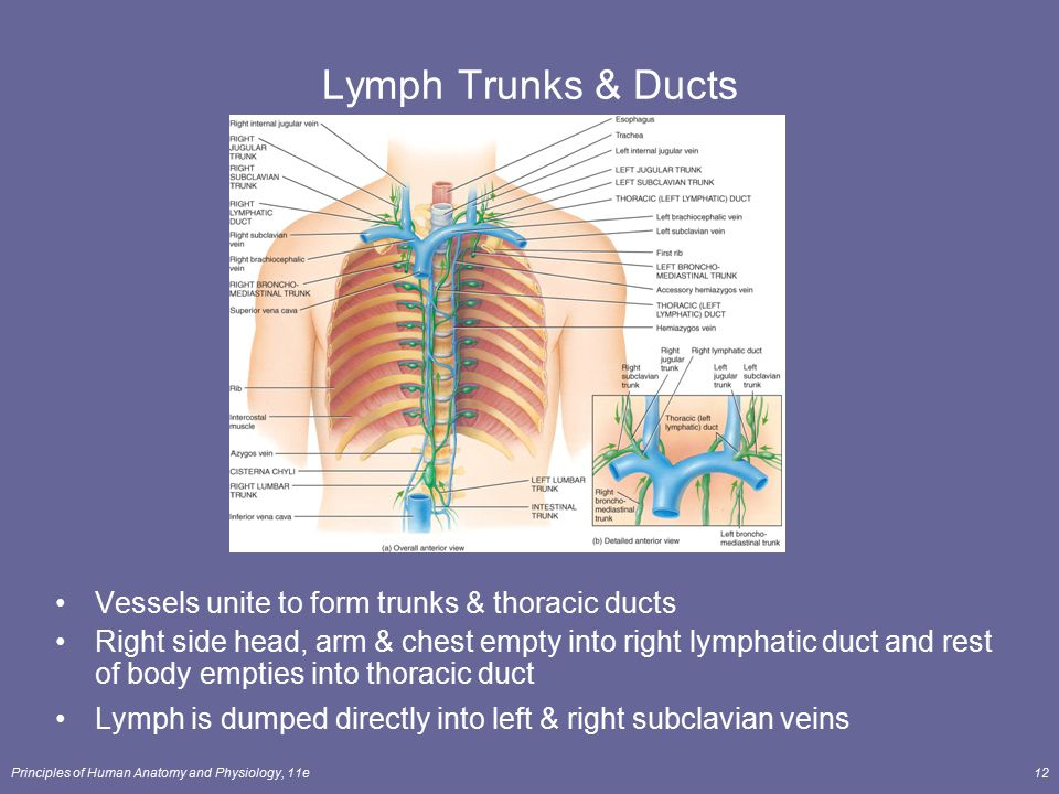 Lymph Trunks & Ducts Vessels unite to form trunks & thoracic ducts