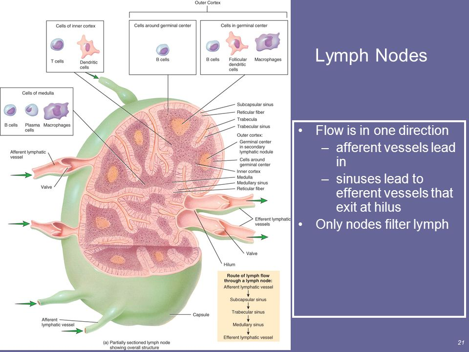 Lymph Nodes Flow is in one direction afferent vessels lead in