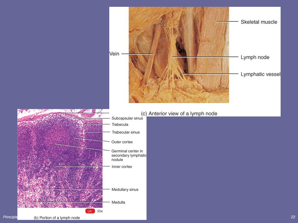 Principles of Human Anatomy and Physiology, 11e