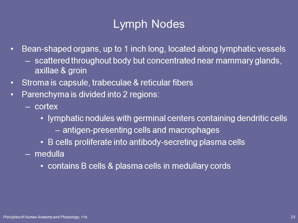 Lymph Nodes Bean-shaped organs, up to 1 inch long, located along lymphatic vessels.