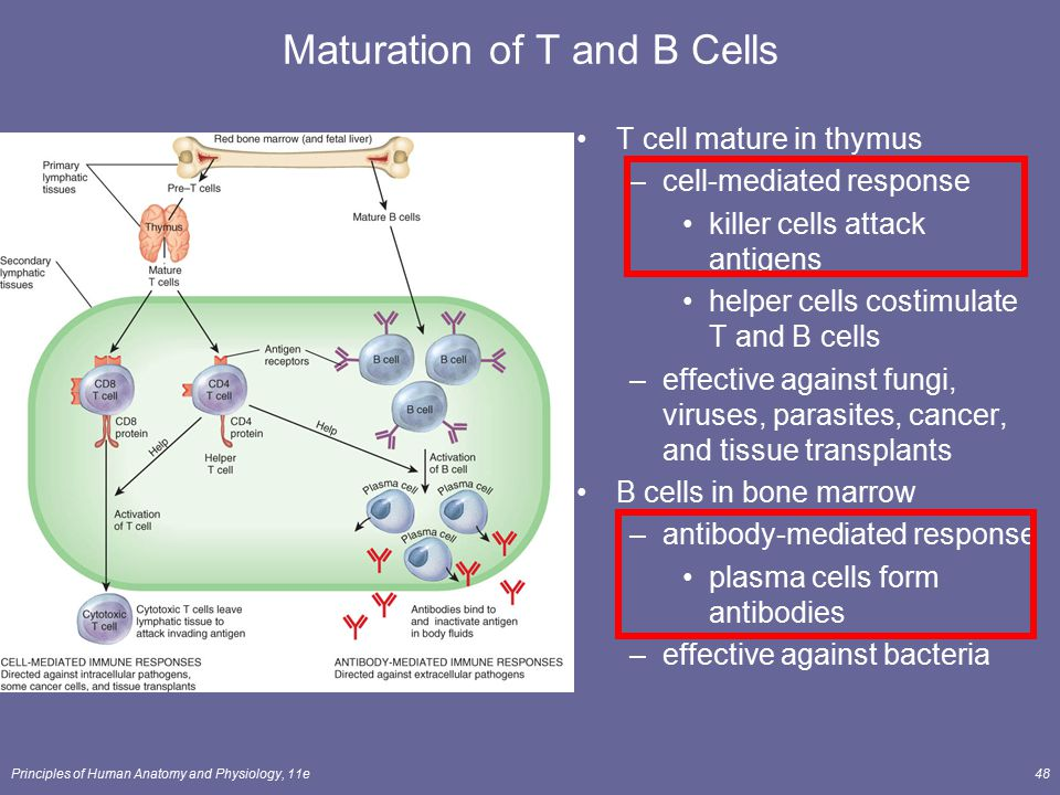 Maturation of T and B Cells