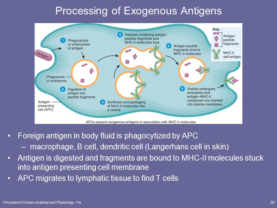 Processing of Exogenous Antigens