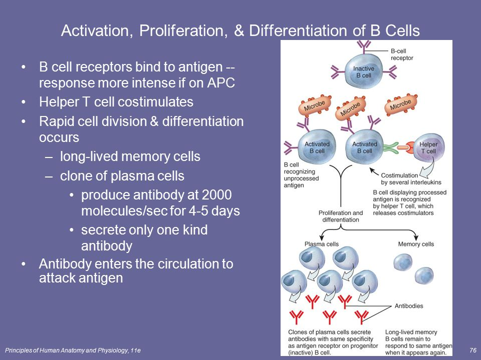 Activation, Proliferation, & Differentiation of B Cells