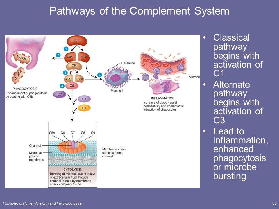 Pathways of the Complement System