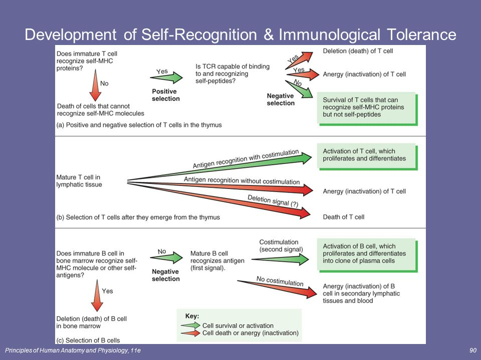 Development of Self-Recognition & Immunological Tolerance
