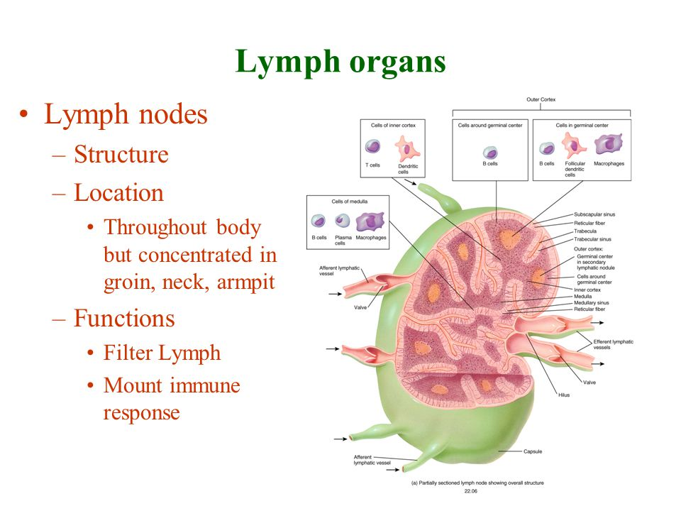 Lymph organs Lymph nodes Structure Location Functions