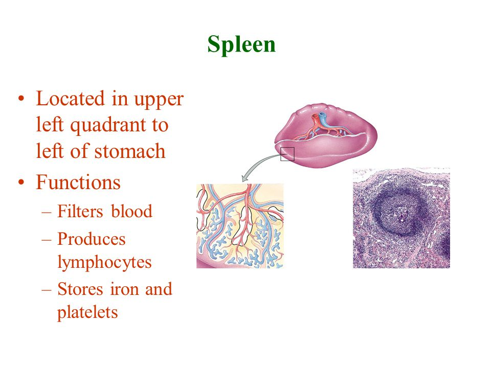 Spleen Located in upper left quadrant to left of stomach Functions