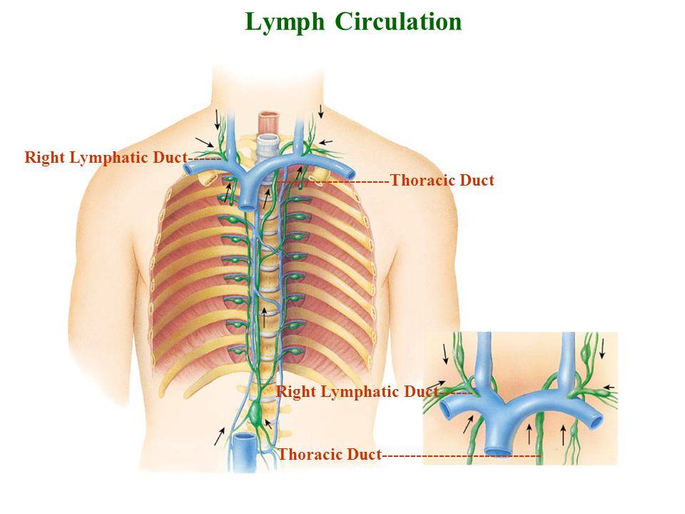 Lymph Circulation Right Lymphatic Duct------