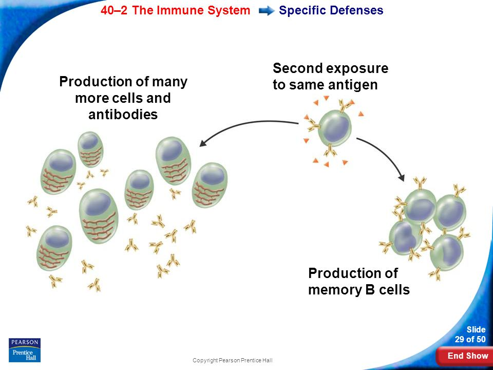 Production of many more cells and antibodies