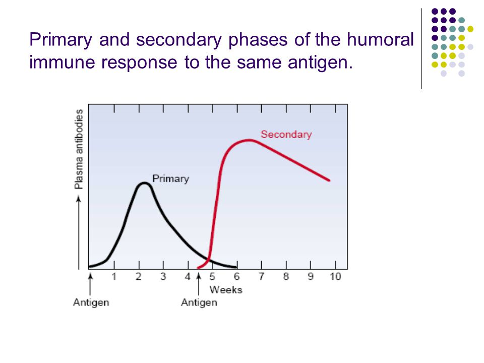 Primary and secondary phases of the humoral immune response to the same antigen.