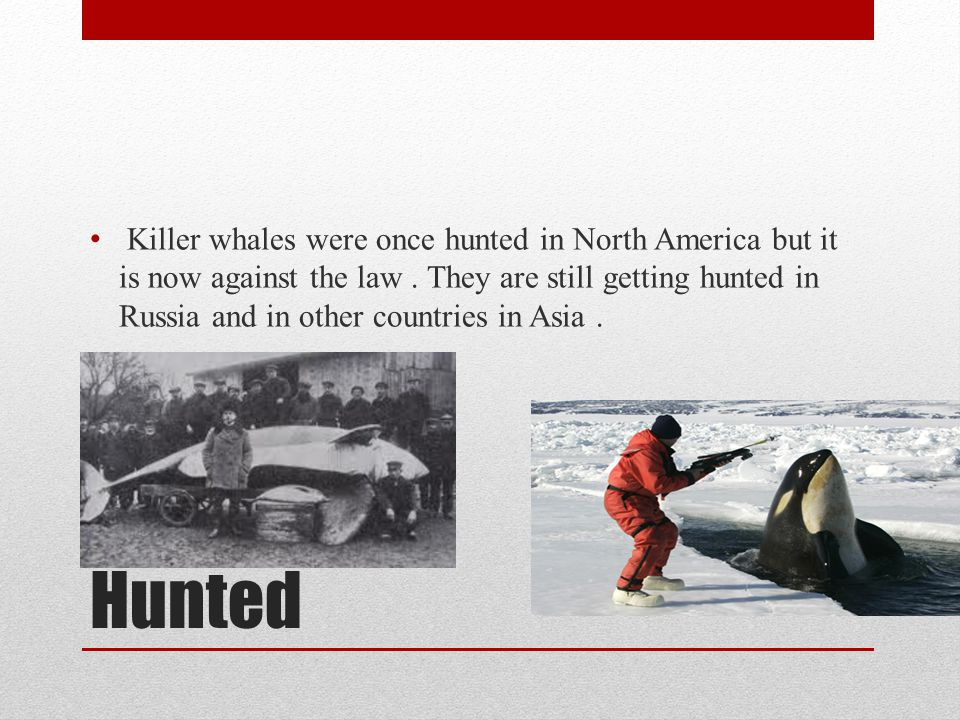 Killer whales were once hunted in North America but it is now against the law . They are still getting hunted in Russia and in other countries in Asia .