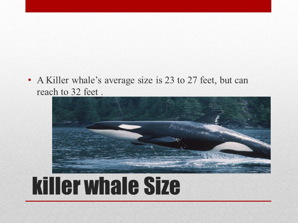 A Killer whale's average size is 23 to 27 feet, but can reach to 32 feet .