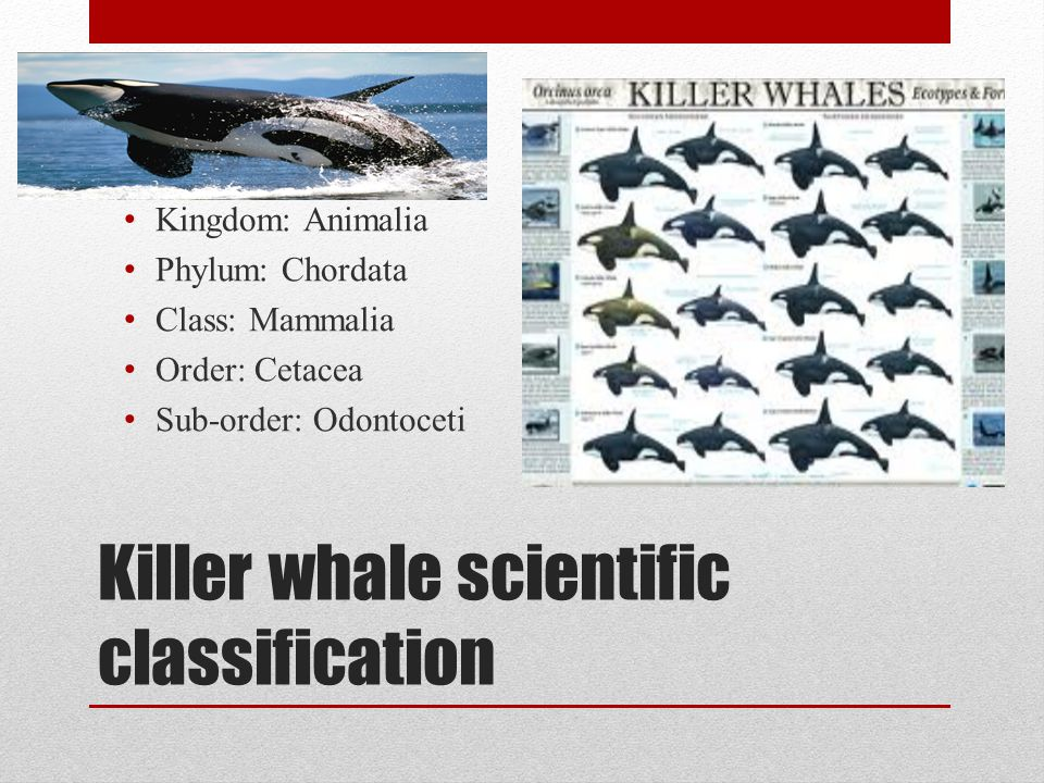 Killer whale scientific classification