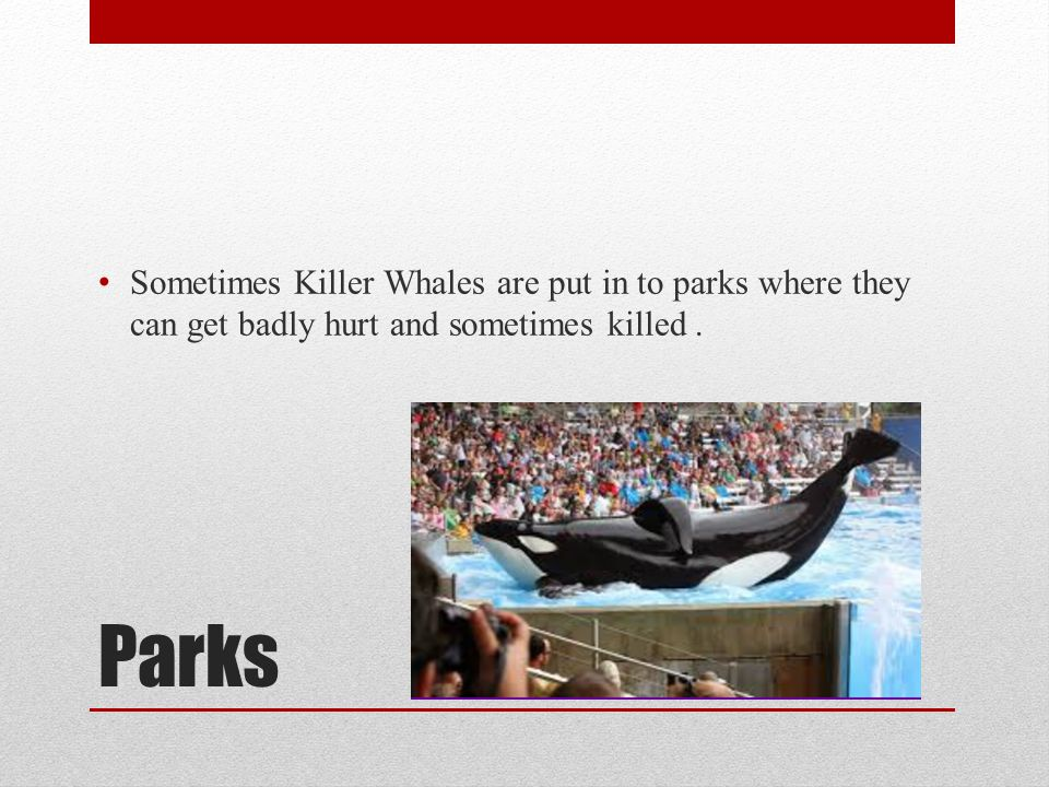 Sometimes Killer Whales are put in to parks where they can get badly hurt and sometimes killed .