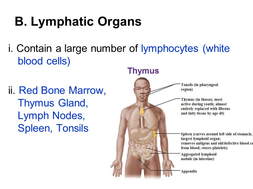 B. Lymphatic Organs i. Contain a large number of lymphocytes (white blood cells) ii.