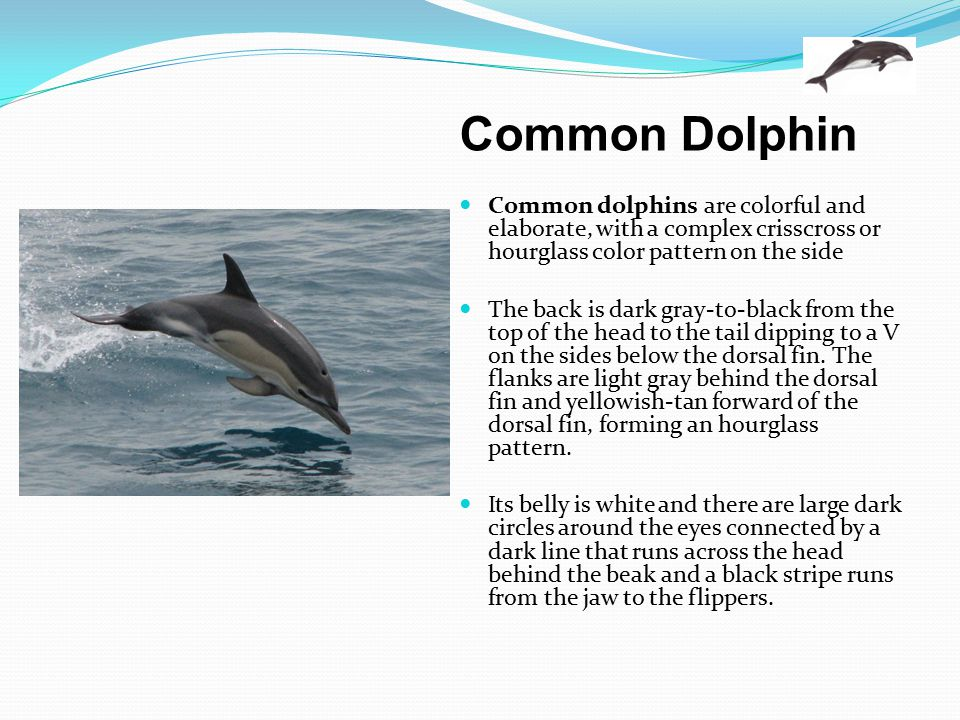 Common Dolphin Common dolphins are colorful and elaborate, with a complex crisscross or hourglass color pattern on the side.