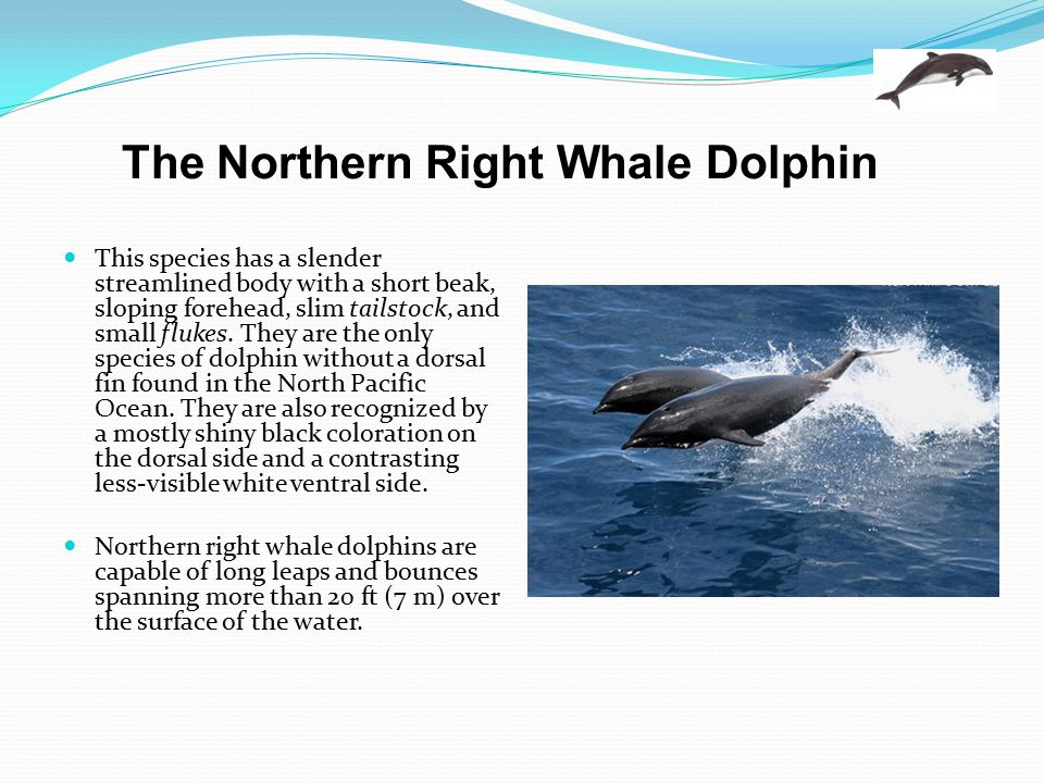 The Northern Right Whale Dolphin