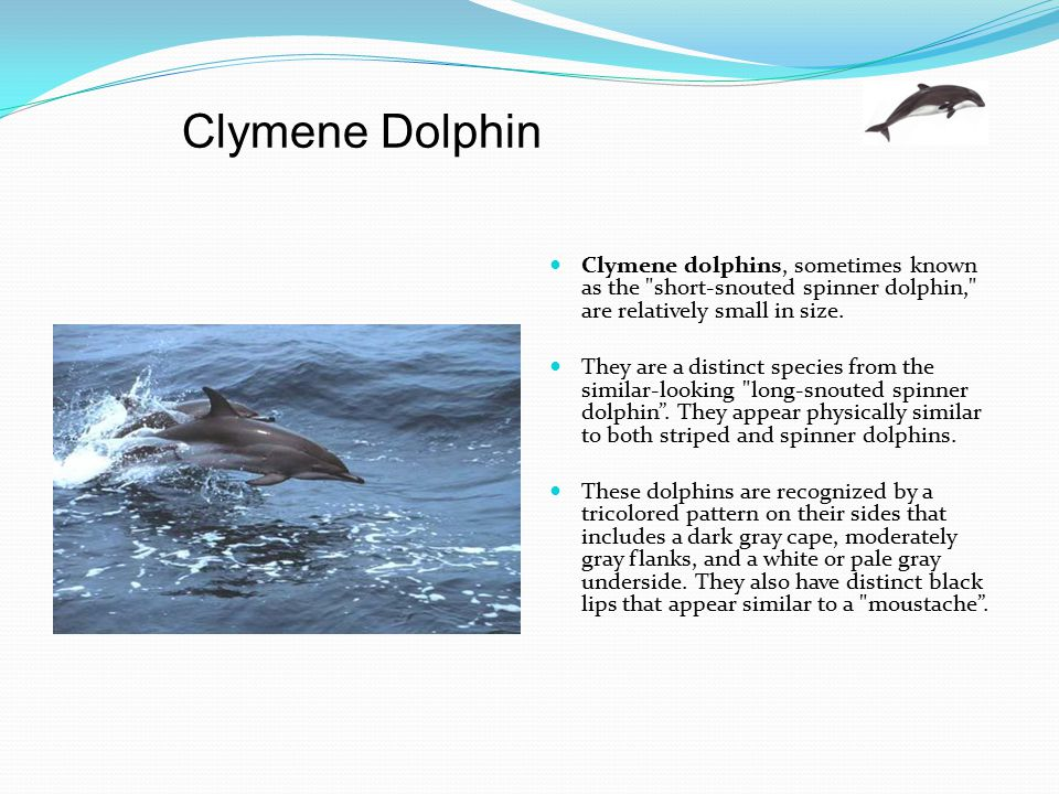 Clymene Dolphin Clymene dolphins, sometimes known as the short-snouted spinner dolphin, are relatively small in size.