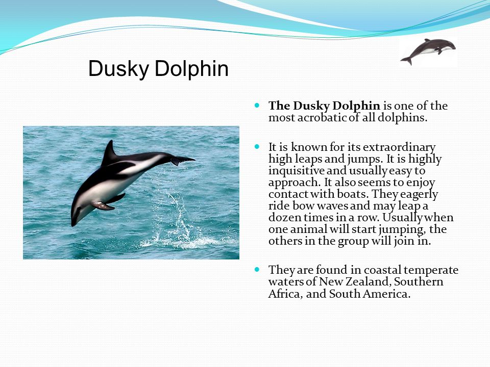 Dusky Dolphin The Dusky Dolphin is one of the most acrobatic of all dolphins.