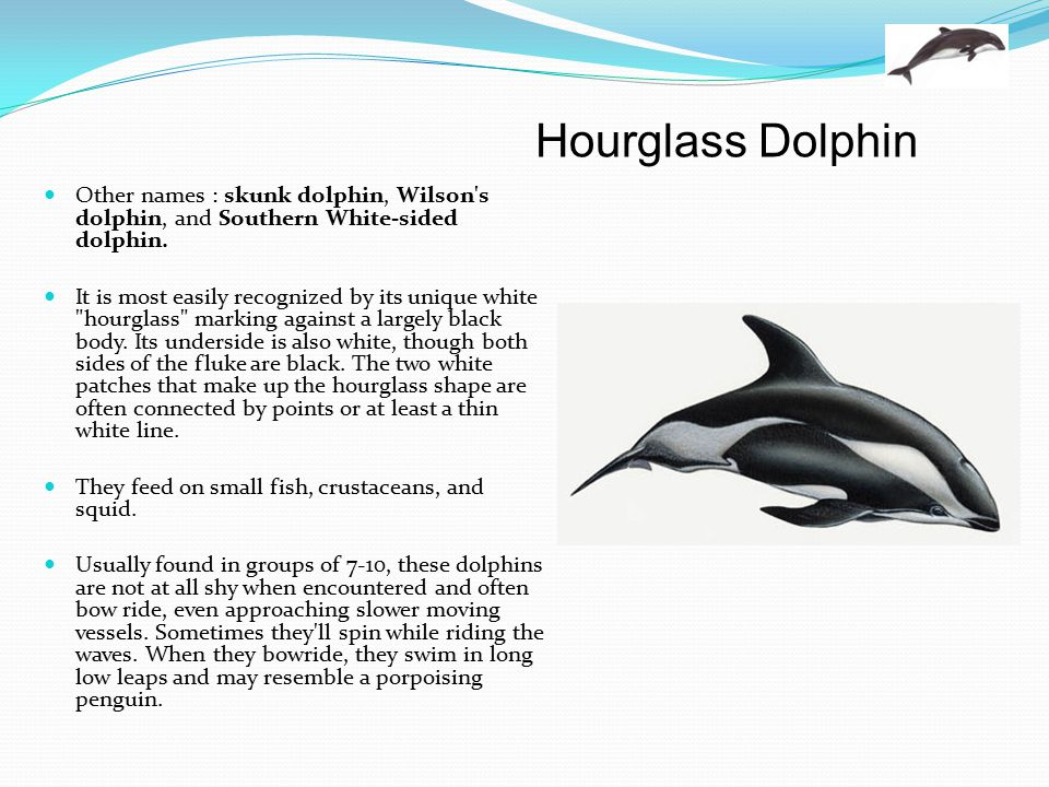 Hourglass Dolphin Other names : skunk dolphin, Wilson s dolphin, and Southern White-sided dolphin.