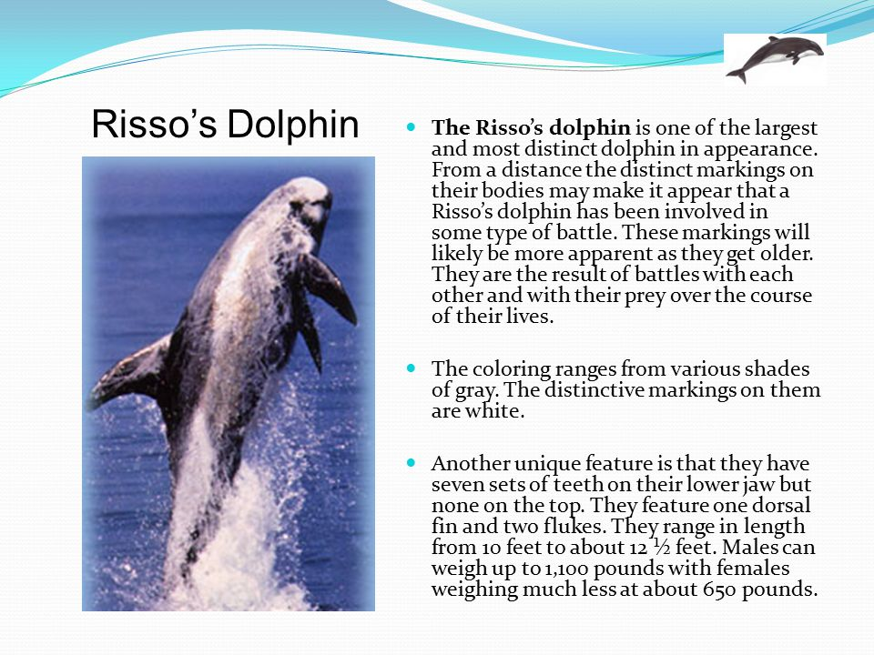 The Risso's dolphin is one of the largest and most distinct dolphin in appearance. From a distance the distinct markings on their bodies may make it appear that a Risso's dolphin has been involved in some type of battle. These markings will likely be more apparent as they get older. They are the result of battles with each other and with their prey over the course of their lives.