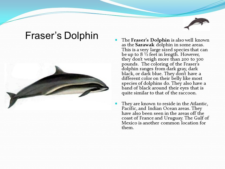 The Fraser's Dolphin is also well known as the Sarawak dolphin in some areas. This is a very large sized species that can be up to 8 ½ feet in length. However, they don't weigh more than 200 to 300 pounds. The coloring of the Fraser's dolphin ranges from dark gray, dark black, or dark blue. They don't have a different color on their belly like most species of dolphins do. They also have a band of black around their eyes that is quite similar to that of the raccoon.