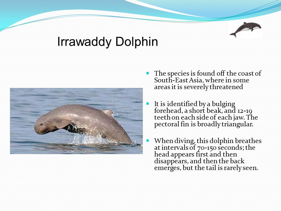 Irrawaddy Dolphin The species is found off the coast of South-East Asia, where in some areas it is severely threatened.