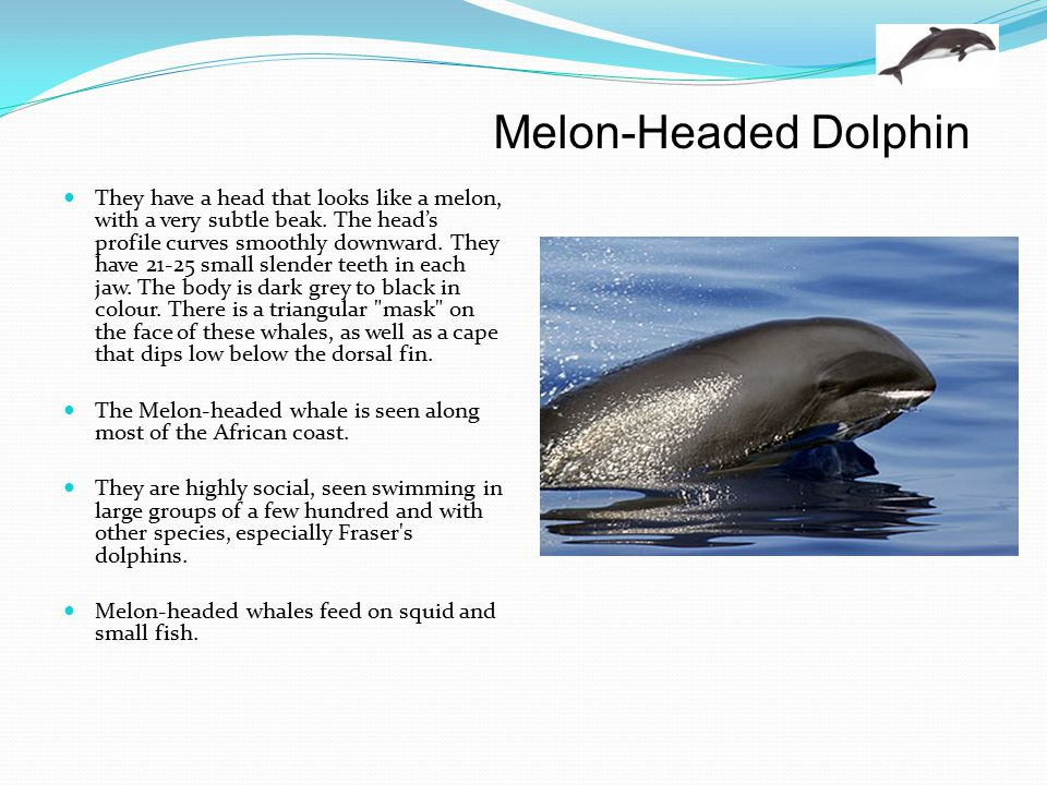 Melon-Headed Dolphin
