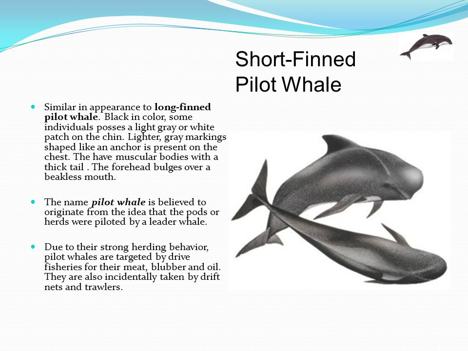 Short-Finned Pilot Whale