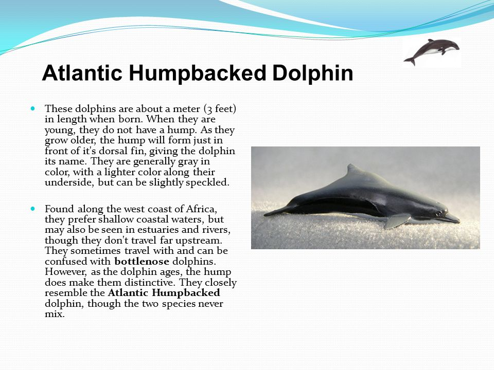 Atlantic Humpbacked Dolphin