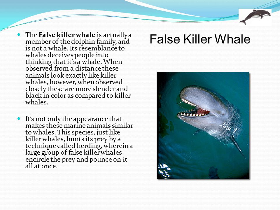 The False killer whale is actually a member of the dolphin family, and is not a whale. Its resemblance to whales deceives people into thinking that it s a whale. When observed from a distance these animals look exactly like killer whales, however, when observed closely these are more slender and black in color as compared to killer whales.