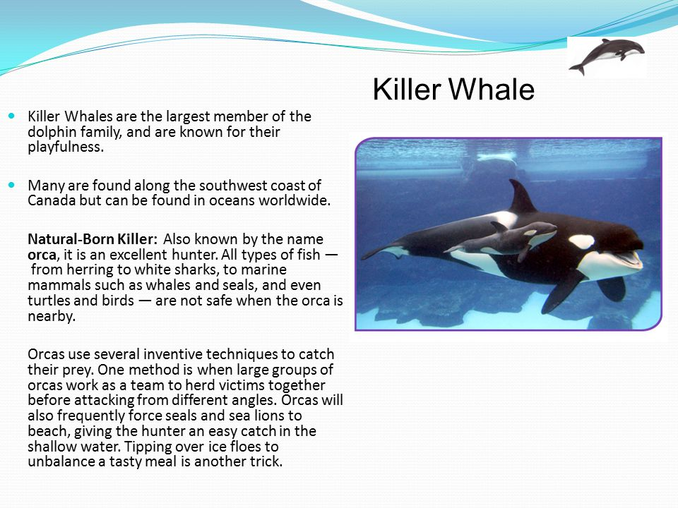 Killer Whale Killer Whales are the largest member of the dolphin family, and are known for their playfulness.