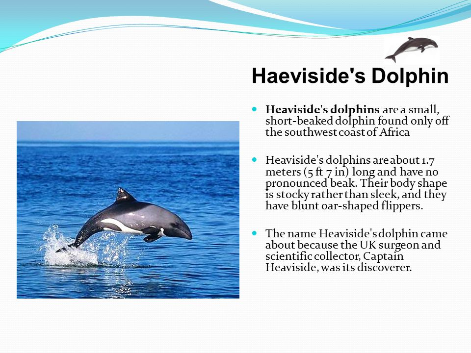 Haeviside s Dolphin Heaviside s dolphins are a small, short-beaked dolphin found only off the southwest coast of Africa.