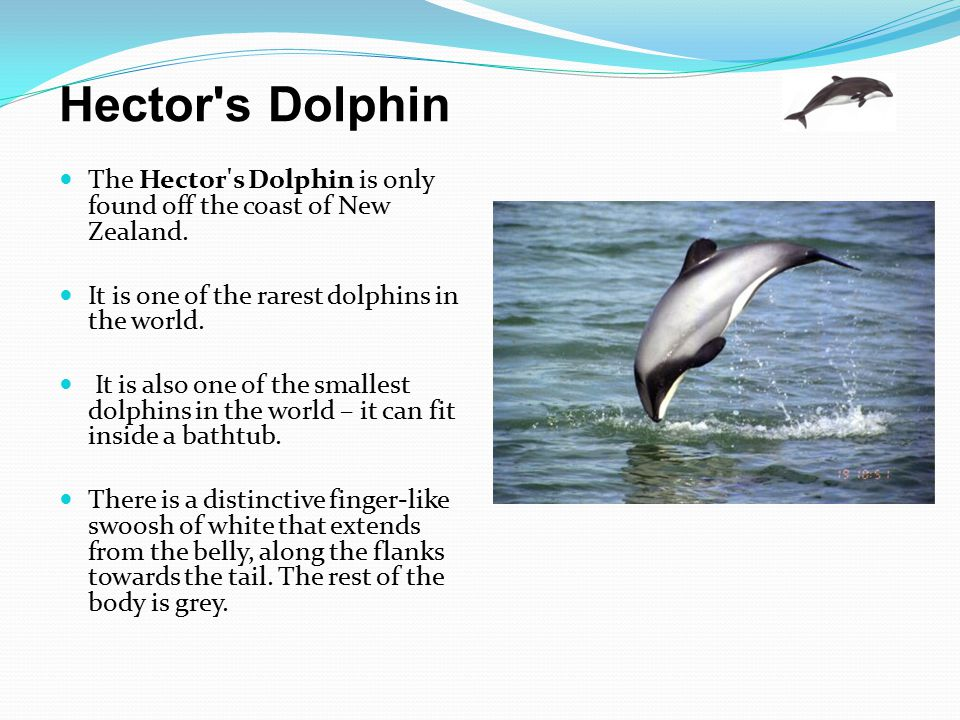 Hector s Dolphin The Hector s Dolphin is only found off the coast of New Zealand. It is one of the rarest dolphins in the world.