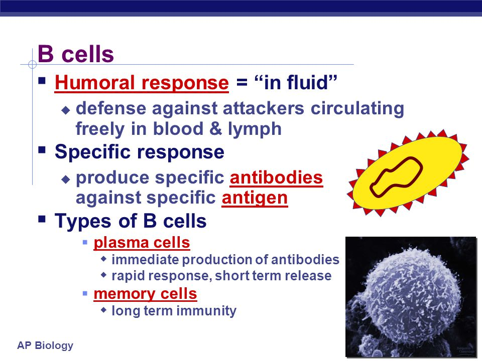 B cells Humoral response = in fluid Specific response