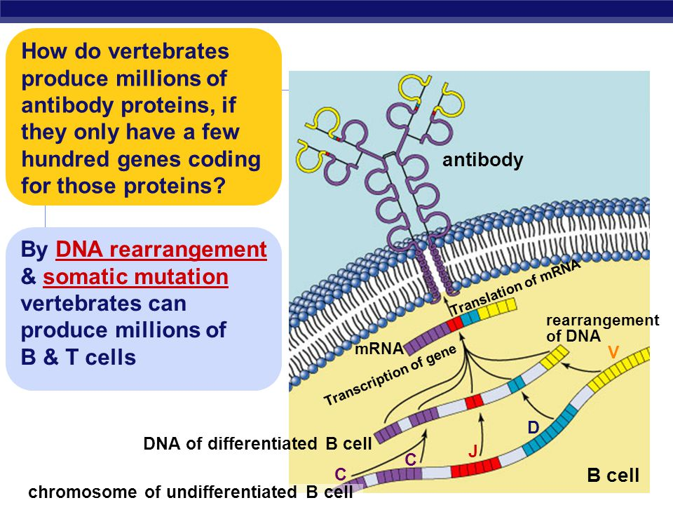 How do vertebrates produce millions of antibody proteins, if they only have a few hundred genes coding for those proteins