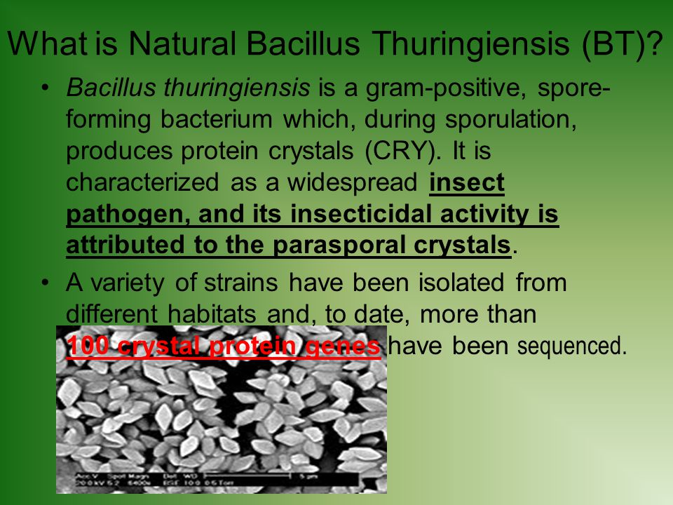 What is Natural Bacillus Thuringiensis (BT)