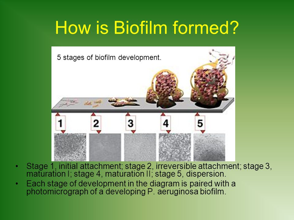 How is Biofilm formed 5 stages of biofilm development.