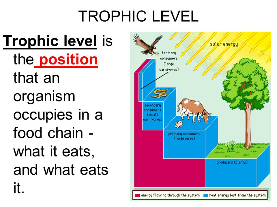TROPHIC LEVEL Trophic level is the position that an organism occupies in a food chain - what it eats, and what eats it.