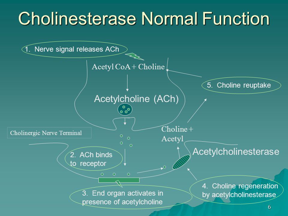 Cholinesterase Normal Function