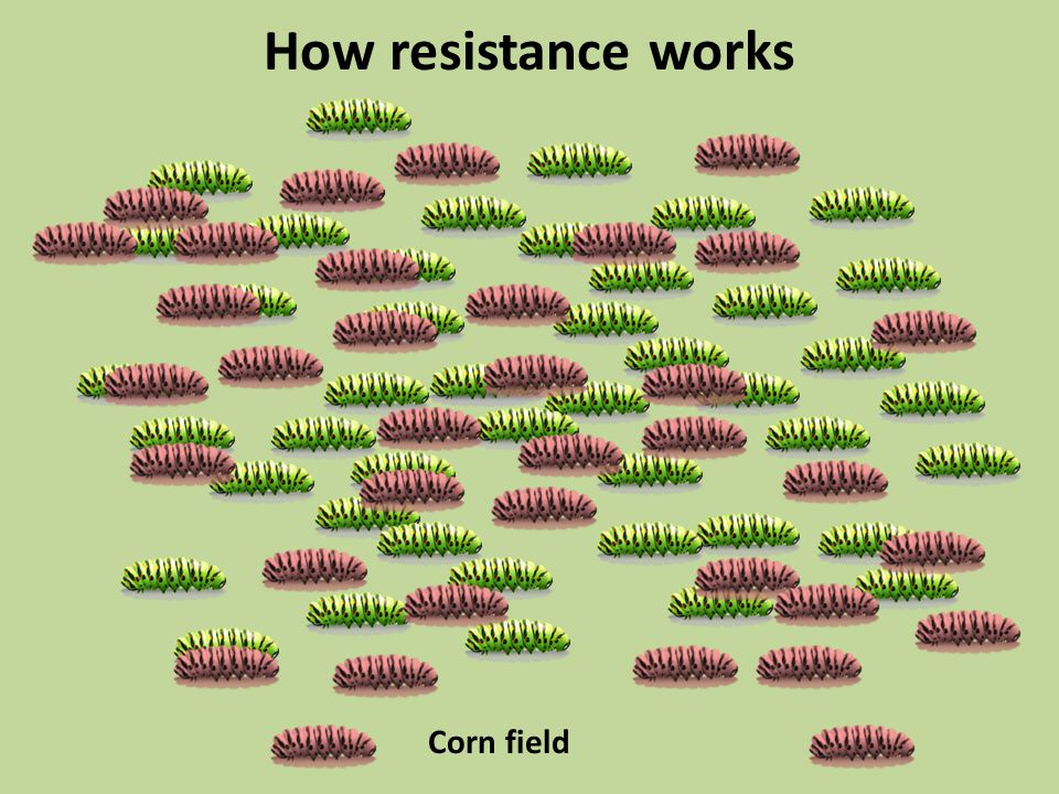 How resistance works Corn field