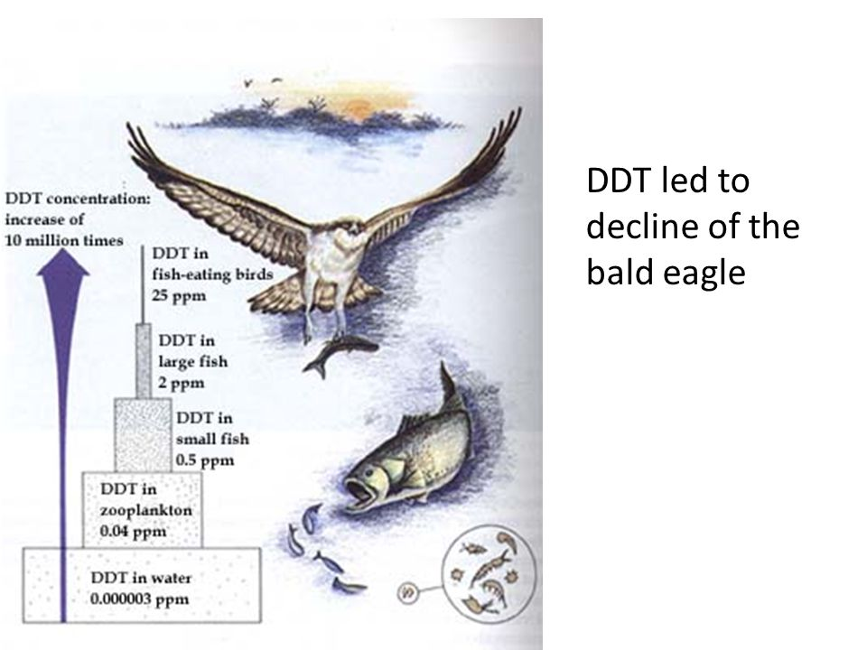 DDT led to decline of the bald eagle