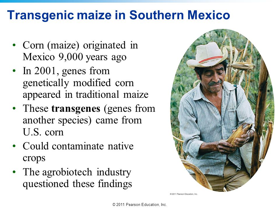 Transgenic maize in Southern Mexico