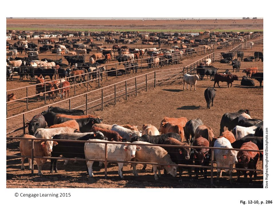 Figure 12-10: Industrialized beef production: On this cattle feedlot in west Texas, thousands of cattle are fattened on grain for a few months before being slaughtered.